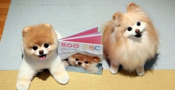 Boo and Buddy, world's cutest dogs