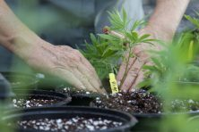 A clone cannabis plant is planted in the Knox Cultivation Center in Winter Garden, Fla.