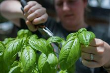 Kaitlyn Blount harvests basil from her herb garden on her back porch in Tampa, Fla.