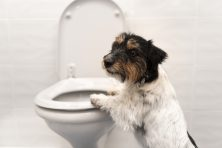 A Jack Russell Terrier stand up on the toilet